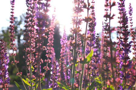 Artistic image of summer season. Blurred flowers of medicinal sage against background of the sunset in the garden.