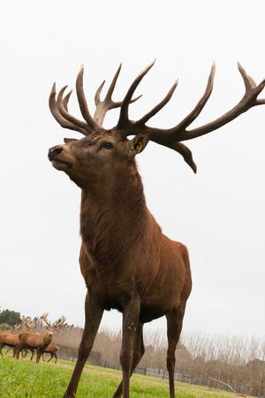 Red deer stags herd grazing on green grass meadow scene.