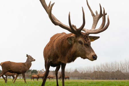 CHRISTCHURCH, NEW ZEALAND - MAY 26, 2012: Red deer stags herd grazing on green grass meadow scene.
