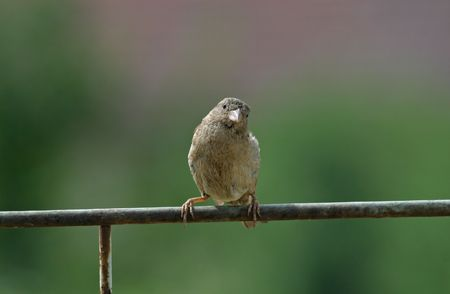 domestico: Telephoto of a garden sparrow