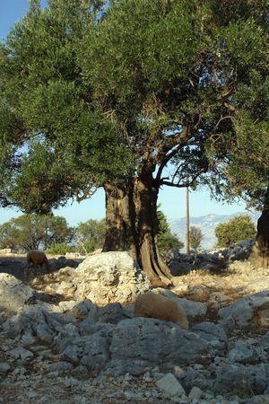 Old olive tree photo