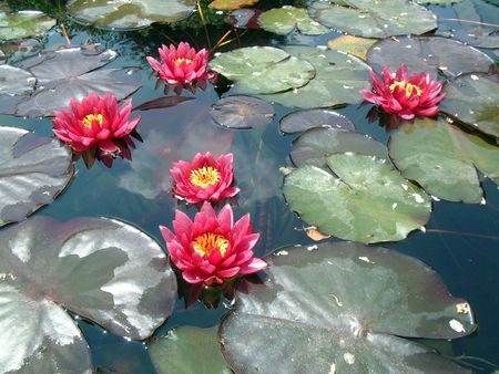 Beautiful Waterlily on pound in park photo