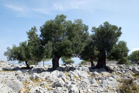 Olive grove Stock Photo - 6148202