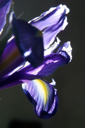 blueflag: Hojas de iris