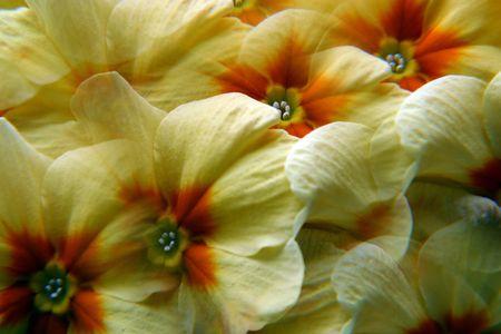 primula: Yellow primula flowers Stock Photo