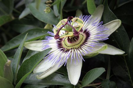 A Passion Flower photo