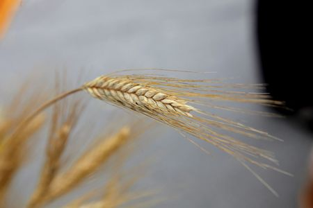 Wheat Stock Photo - 8012508