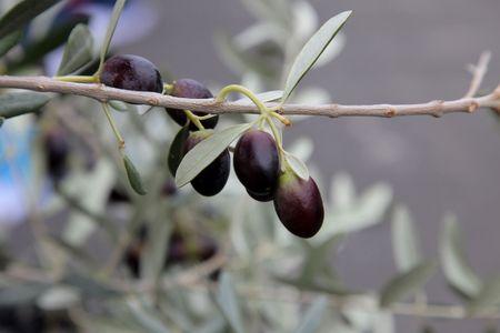 Branch of black olives photo