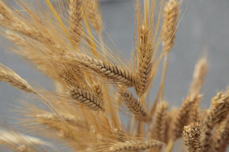 Wheat Stock Photo - 8097258