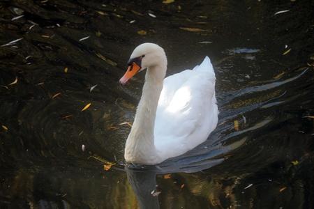 Swan Stock Photo - 8287018