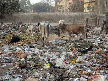 KOLKATA, INDIA -JANUARY 24: Streets of Kolkata. Animals in trash heap, January 24, 2009.
