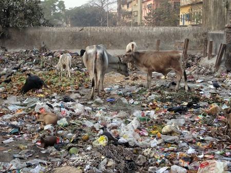 india cow: KOLKATA, INDIA -JANUARY 24: Streets of Kolkata. Animals in trash heap, January 24, 2009.