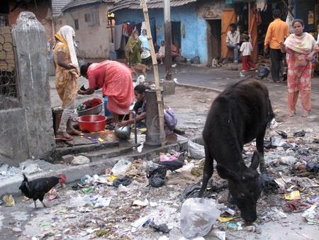india cow: KOLKATA, INDIA -JANUARY 25: Streets of Kolkata. Animals in trash heap, January 25, 2009.