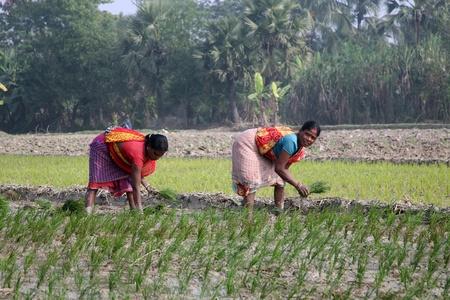 furrow: KUMROKHALI, INDIA - JANUARY 14: Rural women working in rice plantation in Kumrokhali, West Bengal, India on January 14, 2009.