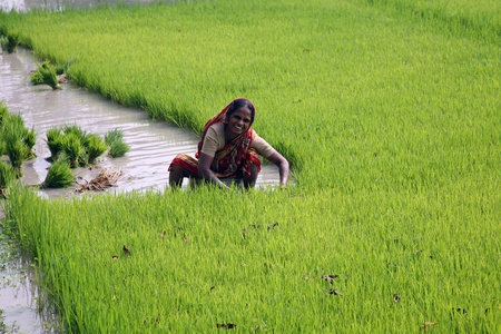 BOSONTI, INDIA - JANUARY 17: Rural woman working in rice plantation in Bosonti, West Bengal, India on January 17, 2009. Stock Photo - 10781156