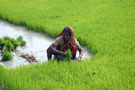 india food: BOSONTI, INDIA - JANUARY 17: Rural woman working in rice plantation in Bosonti, West Bengal, India on January 17, 2009. Editorial