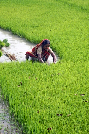 BOSONTI, INDIA - JANUARY 17: Rural woman working in rice plantation in Bosonti, West Bengal, India on January 17, 2009.