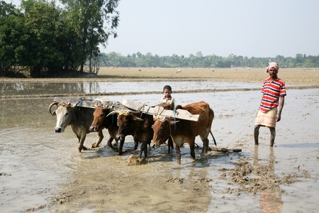 ploughing: GOSABA, INDIA - JANUARY 19 : Farmers plowing agricultural field in traditional way where a plow is attached to bulls on January 19, 2019 in Gosaba, West Bengal, India.