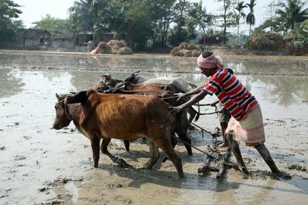 plowing: GOSABA, INDIA - el 19 de enero: Los agricultores arando el campo agr�cola de manera tradicional donde se adjunta un arado a bulls el 19 de enero de 2019 en Gosaba, West Bengal, India.