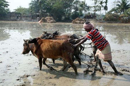 GOSABA, INDIA - JANUARY 19 : Farmers plowing agricultural field in traditional way where a plow is attached to bulls on January 19, 2019 in Gosaba, West Bengal, India.