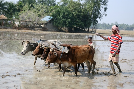 india cow: GOSABA, INDIA - JANUARY 19 : Farmers plowing agricultural field in traditional way where a plow is attached to bulls on January 19, 2019 in Gosaba, West Bengal, India.