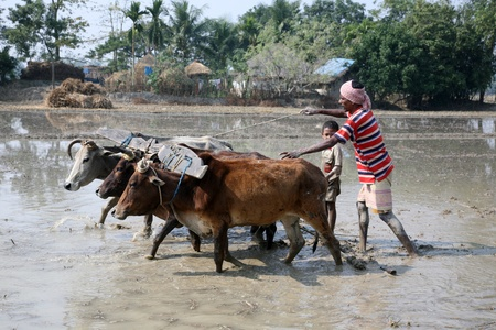 dry cow: GOSABA, INDIA - JANUARY 19 : Farmers plowing agricultural field in traditional way where a plow is attached to bulls on January 19, 2019 in Gosaba, West Bengal, India.