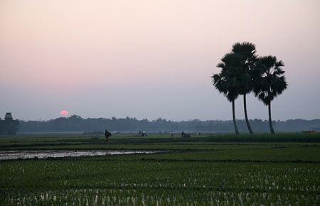 Twilight of the rice fields, Sunderbands, West Bengal, India photo