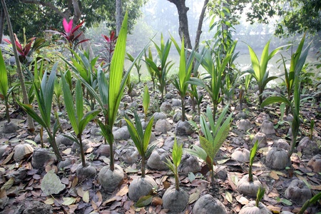 coconut seedlings: Coconut seeding in the farmland