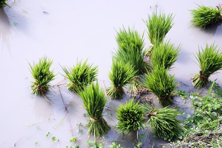 rice plant: Rice seedlings for planting.