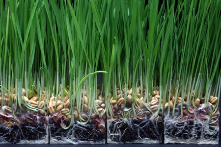 Growth wheat photo