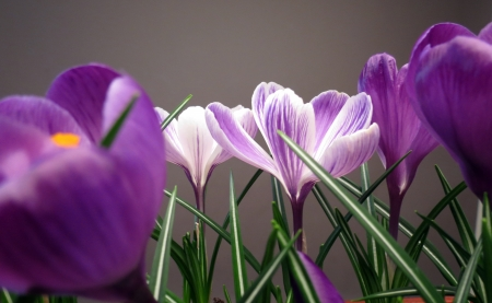 Crocus Stock Photo - 14467839