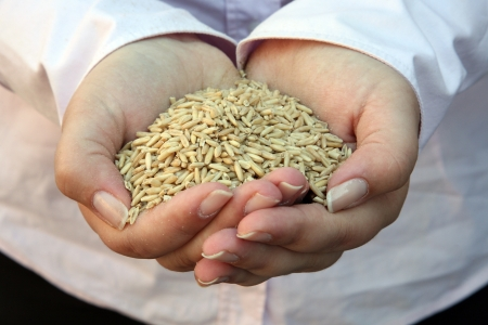 agronomic: Wheat in womans hand Stock Photo