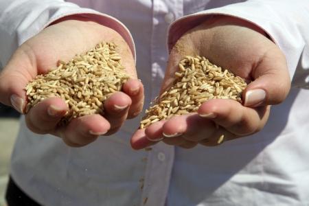 Wheat in woman photo