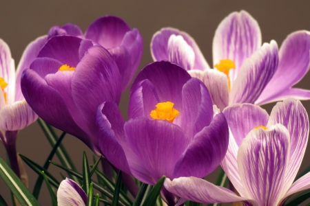 Crocus Stock Photo - 14630116