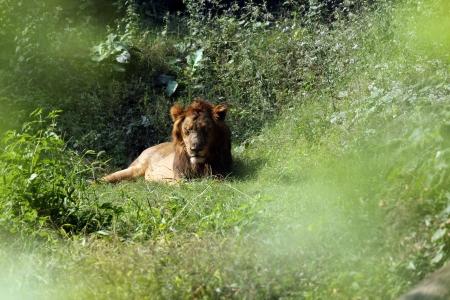 panthera leo: Le�n Panthera leo