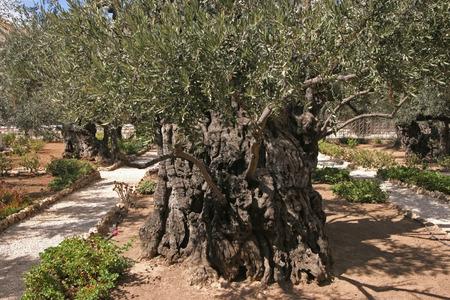 Jerusalem-Garden of Gethsemane photo