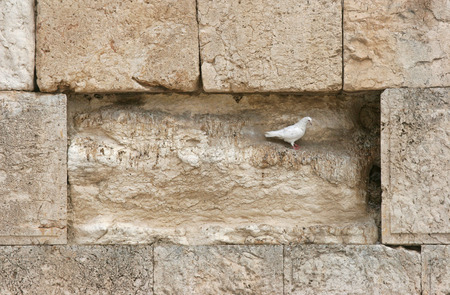 wailing: Beautiful white pigeon on wailing wall in Jerusalem