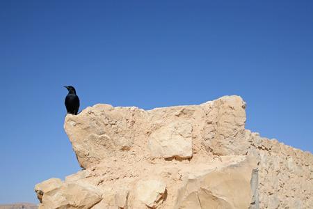 bird of israel: Bird in the Masada fortress in Israel