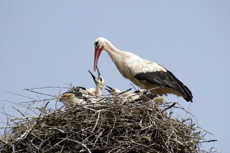Stork family on the nest photo