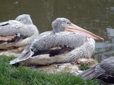 pelikan: Pelican