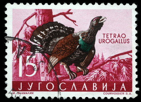 Stamp printed in Yugoslavia shows the Western Capercaillie with the inscription  Tetrao Urogallus  from the series  Fauna , circa 1965