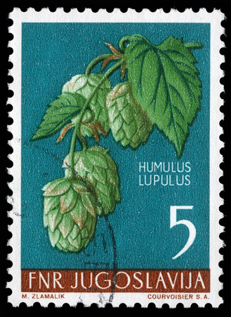 common hop: Stamp printed in Yugoslavia shows common hop, series, circa 1959 Stock Photo
