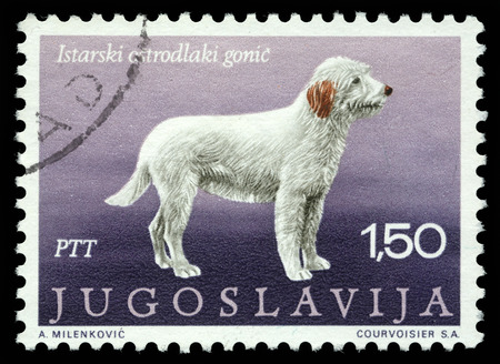 hounds: Stamp printed in Yugoslavia shows the Istrian coarse-haired hounds from the series  Dogs , circa 1988