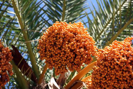 dactylifera: Phoenix dactylifera palm tree Stock Photo