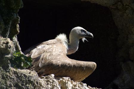 fulvus: Eurasian Griffon (Gyps Fulvus), Vulture
