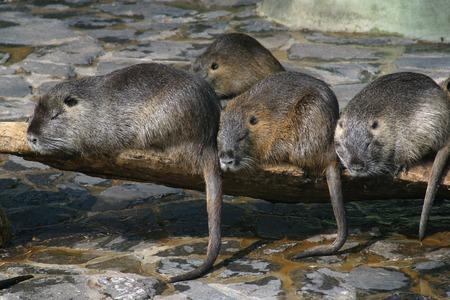 dwelling: Water dwelling nutrias