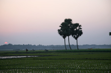 Twilight of the rice fields in Sunderbands, West Bengal, India photo