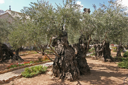 yielding: Jerusalem-Garden of Gethsemane