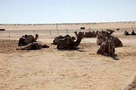 Camels in Sahara desert-Tunisia photo
