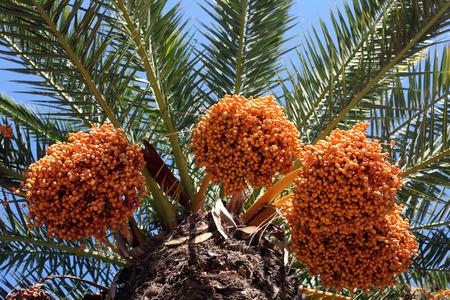 dactylifera: A close up of a phoenix dactylifera palm tree